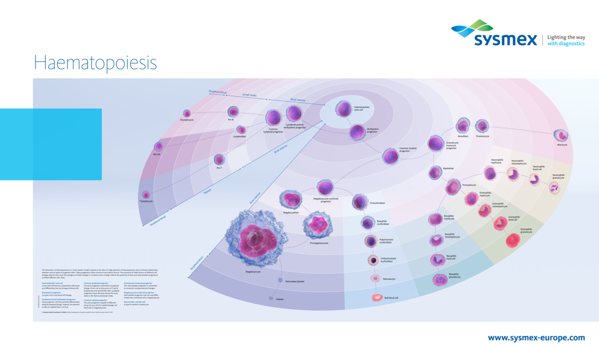 [.CO.UK-en United Kingdom (english)] Our haematopoiesis poster illustrates the development from the pluripotent stem cell via progenitor and precursor cells in bone marrow, lymph nodes and thymus to the mature blood cells circulating in peripheral blood, using a fresh optical approach.